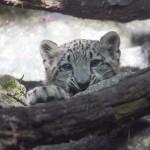_Julie Larsen Maher 0264 Snow Leopard and Cub HIM BZ 08 02 13.jpg