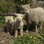 _Julie Larsen Maher 8425 Baby Doll Sheep and Lambs PPZ 04 10 13